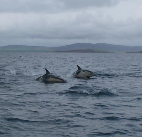 Dolphins in Scapa flow